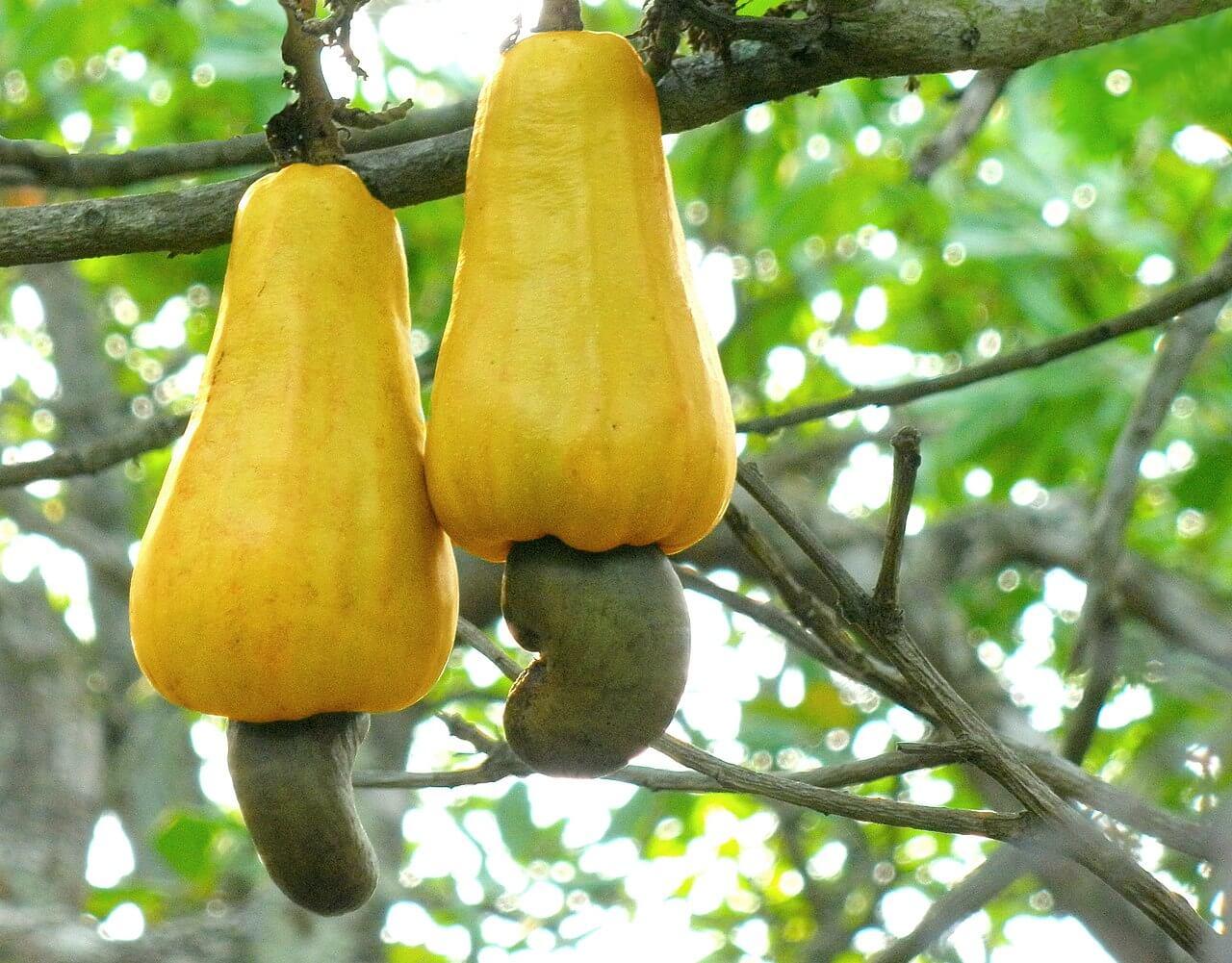 cashew plant