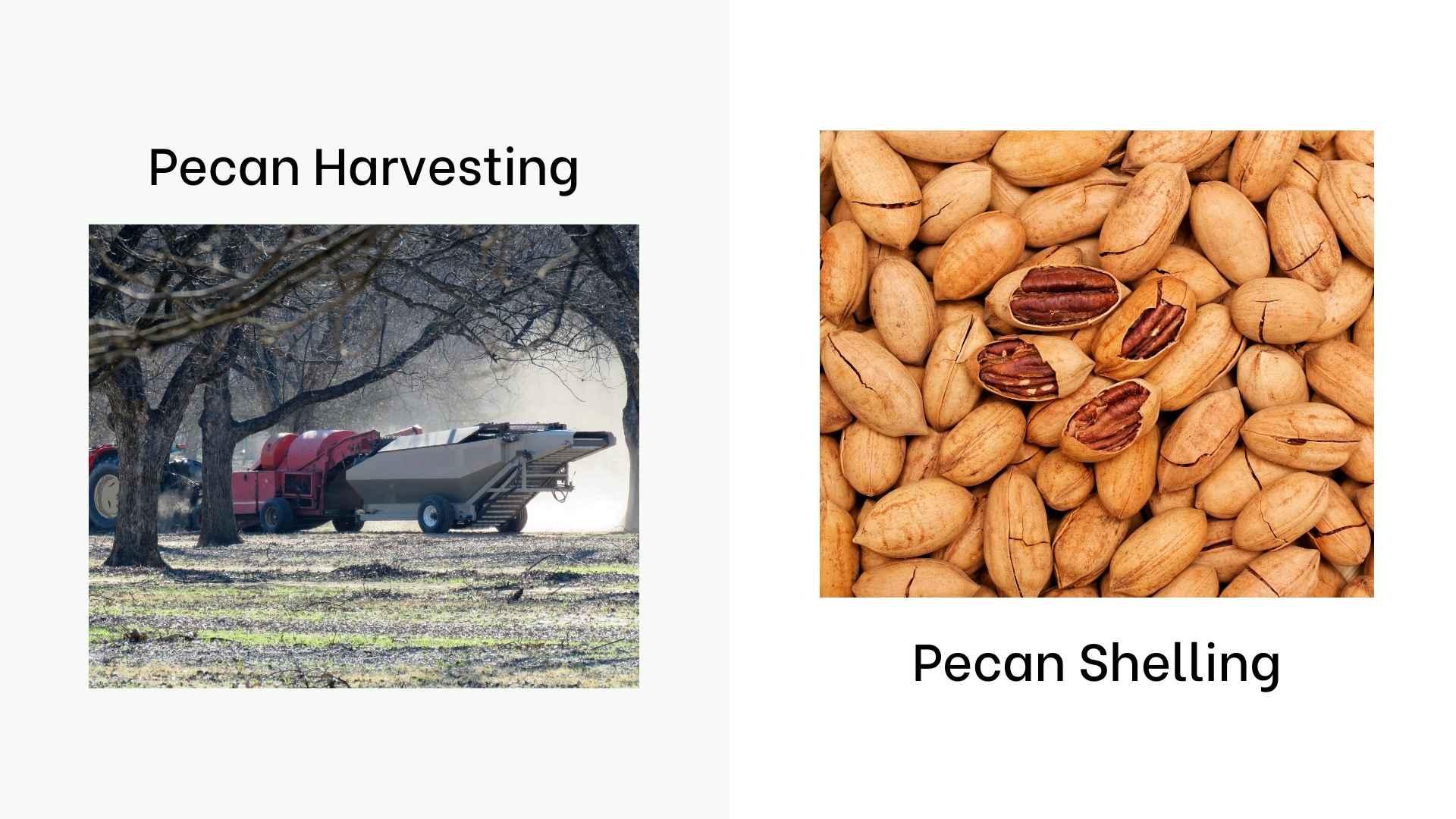 pecan production
