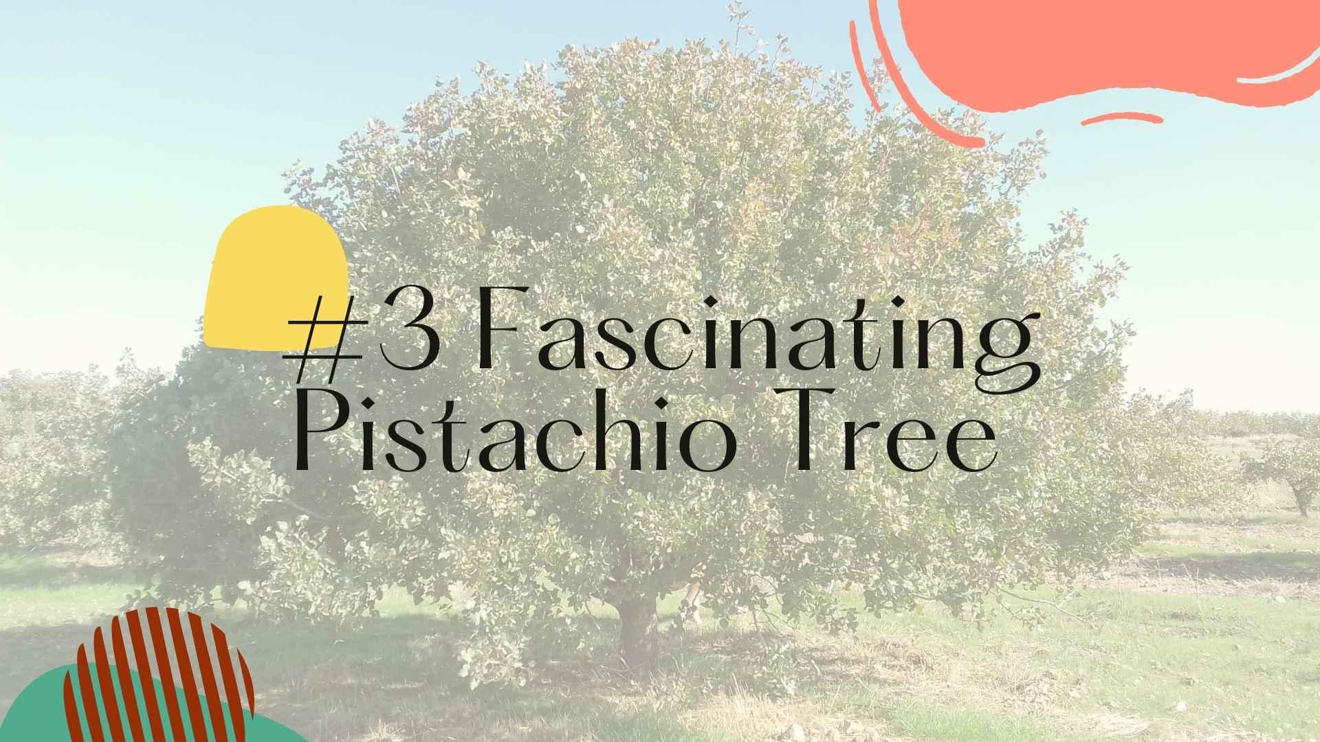 fascinating pistachio tree